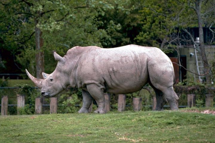 White Nature Wildlife Rhinoceros Horns Rhino